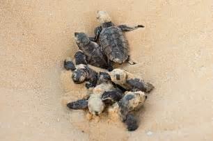 Baby Hawksbill Sea Turtles Hatching