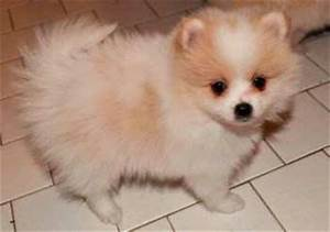 Brown And White Pomeranian Puppies | www.pixshark.com ...