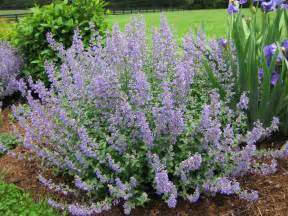cat mint catmint a must have perennial piedmont master gardeners