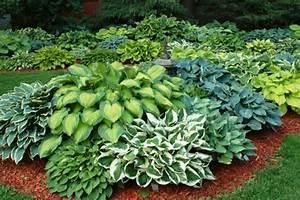 Schattenpflanzen Garten Winterhart : funkien pflanzen toll f r den garten und f r die k che ~ Sanjose-hotels-ca.com Haus und Dekorationen
