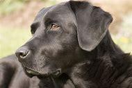 Labrador Retriever Black Lab