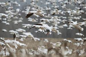 Sample Llc Snow Storm Hunting Snow Geese Recoil