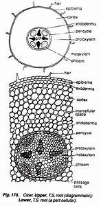 Monocot And Dicot Roots  With Diagram