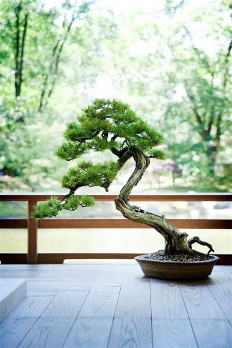 bonsai baum pflege bonsai baum diese ausgefallene pflanze n 228 kennenlernen