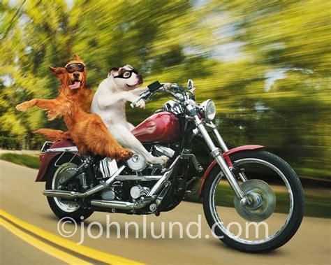 An Irish Setter And A Bulldog Ride A Hog (harley-davidson