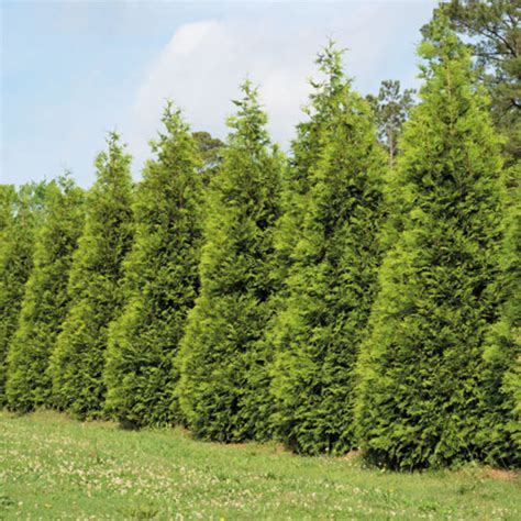 arborvitae trees arborvitae hollyhillnurseries