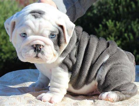 Wrinkly English Bulldog Puppy
