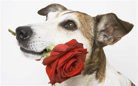 afbeelding bloemen met dier 35 rozen achtergronden en foto s achtergronden
