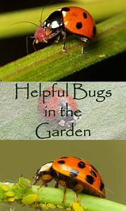 Good Bugs  U2014 Bad Bugs  U2014 Full Bugs Guide For Your Garden