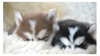 in sleep hd 00 34 puppy of siberian husky resting hd 00 04 husky dog      Adorable Husky Puppy Sleeping