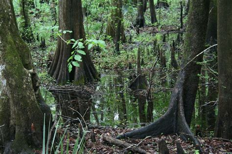 wetland trees random ferments why do trunks of wetland trees often have buttressed bases looking for ideas