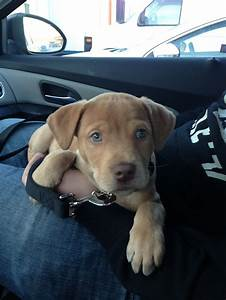 My baby, Diesel! Gorgeous pitbull/lab mix with the ...