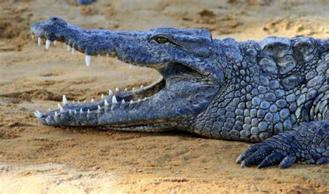 Alligators Crocodiles Evolution