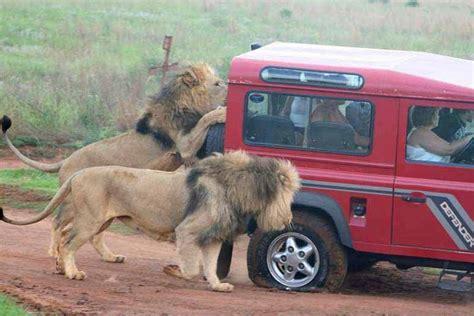 african safari jeep lions attack safari truck terrify tourists in serengeti