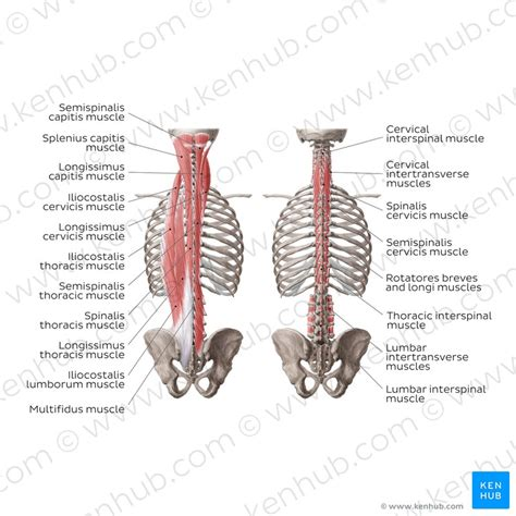 Deep Muscles Of The Back Deep Intrinsic Muscles Of The Back Anatomy Functions
