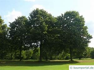 Linde Baum Steckbrief : silber linde tilia tomentosa ~ Orissabook.com Haus und Dekorationen