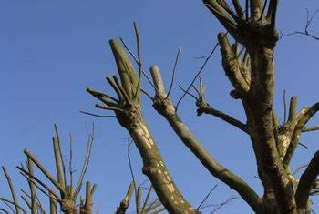 controlling crepe myrtle height  pruning home guides