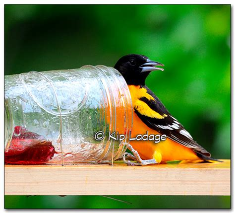 Oriole Feeder Grape Jelly by Kip S Comments 5 14 15 Ladage Photography