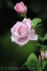Mainzer Fastnacht Rose : mainzer fastnacht a rose from vienna 39 s rose garden g l pinterest beautiful roses ~ Orissabook.com Haus und Dekorationen