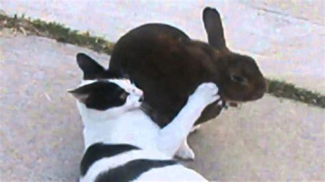 rabbit attacks cat youtube