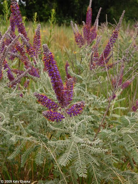 amorpha canescens lead plant minnesota wildflowers