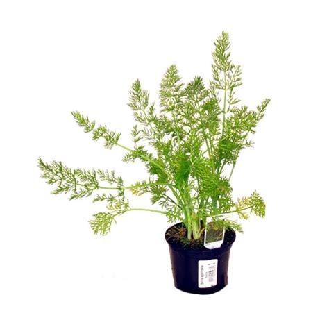 gemüse anbauen hochbeet fenchel lexikon f 252 r kr 228 uter und pflanzen