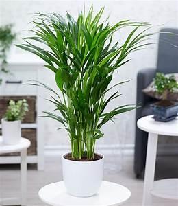 Pflanzen Günstig Kaufen : areca palme im 17 cm topf 1 pflanze g nstig online kaufen mein sch ner garten shop ~ A.2002-acura-tl-radio.info Haus und Dekorationen