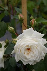 Ilse Krohn Superior : kletterrose rosa ilse krohn superior wei duft 50cm diese kletterrose bestellen sie online ~ Eleganceandgraceweddings.com Haus und Dekorationen