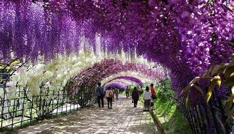 japan tunnel flower wisteria kawachi fuji garden gardens surreal credits