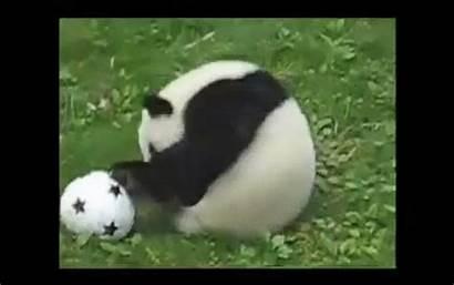 Playing Animals Soccer Panda Gifs Play Jungle