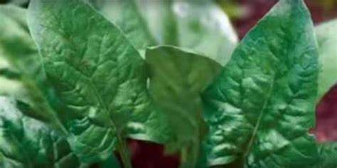 Spinach Seeds From Trusted Sources   What types of spinach