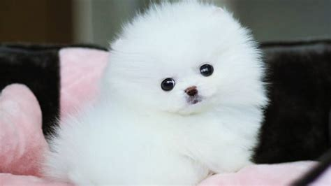 white pomeranian puppy balls  youtube