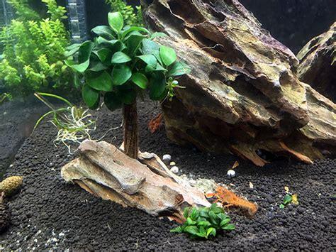 ecrevisse aquarium eau douce ecrevisse d aquarium