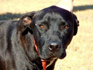 view ad labrador retriever presa canario mix dog