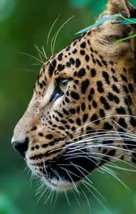 Animal Leopard Big Cat