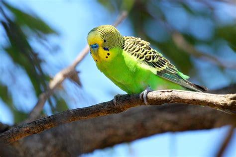 budgie bird budgerigar