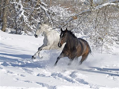 snow horse horses winter running run through wild animals pretty nieve wildlife imagini photographs