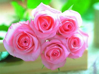 Rose Wallpapers Backgrounds Roses Flower Flowers Pink