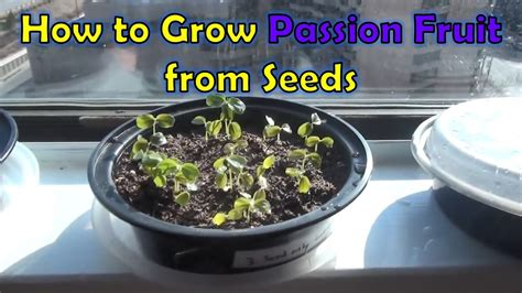 how to grow a seedling growing passion fruit from seeds passiflora edulis youtube