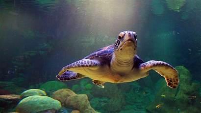 Sea Turtles 4k Desktop Wallpapers