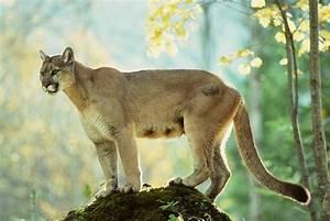 Do Cougars Roam The Smoky Mountains   U2013 Garden  U0026 Gun
