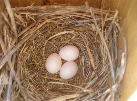 hybrid birder eastern bluebird egg color