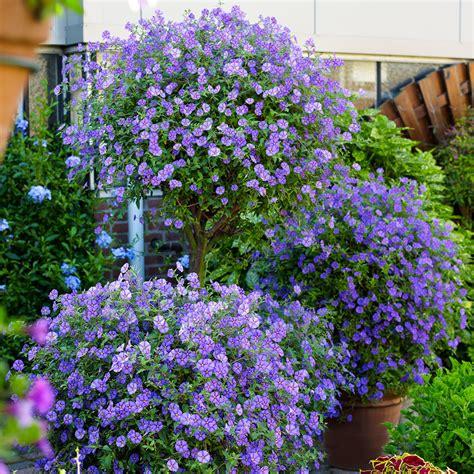 Blaue Stauden Winterhart by Blaue Stauden Winterhart Caryopteris Baardbloem 39 Blauer