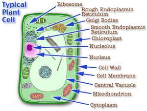 Animal Plant Cell Diagram