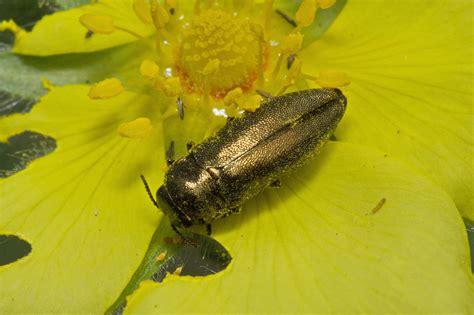 https://www.zin.ru/Animalia/Coleoptera/rus/corelaek.htm