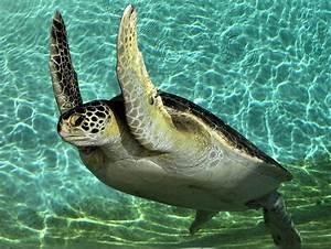 Green Sea Turtle Refuge~