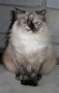 himalayan cats for tracey himalayan cats