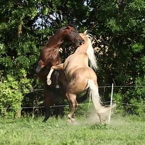 Bilder Von Pferden : magengeschw r beim pferd ergebnis unbemerkter magenprobleme st georg ~ Frokenaadalensverden.com Haus und Dekorationen