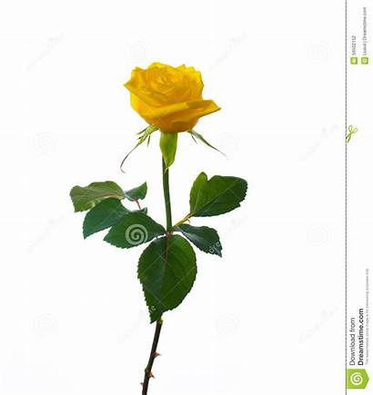 Rose Single Yellow Flower