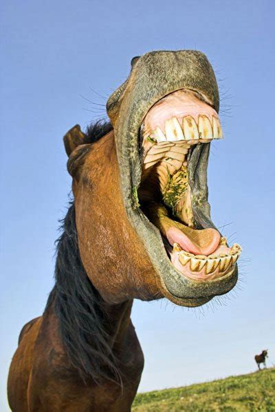 Horse Showing Teeth